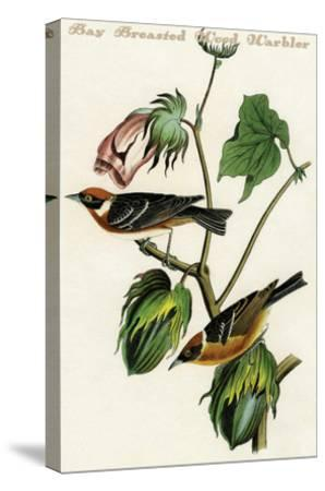 Bay Breasted Wood Warbler-John James Audubon-Stretched Canvas Print