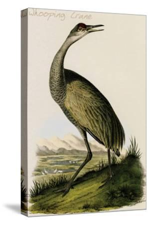 Whooping Crane-John James Audubon-Stretched Canvas Print