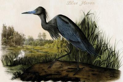 Blue Heron-John James Audubon-Stretched Canvas Print