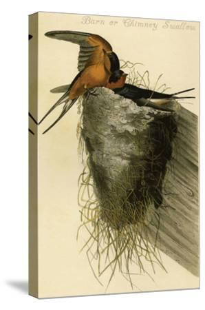 Barn or Chimney Swallow-John James Audubon-Stretched Canvas Print