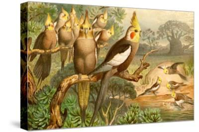 Rosy Cheeked Cockatiels or Cockatoo-F^W^ Kuhnert-Stretched Canvas Print