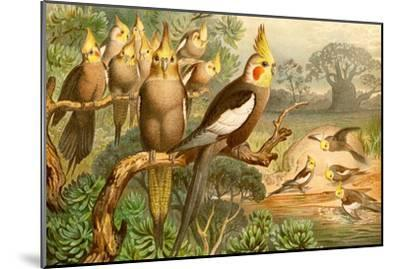 Rosy Cheeked Cockatiels or Cockatoo-F^W^ Kuhnert-Mounted Art Print
