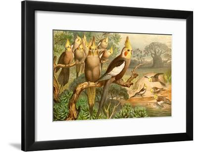 Rosy Cheeked Cockatiels or Cockatoo-F^W^ Kuhnert-Framed Art Print