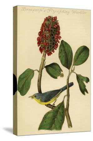 Bonaparte's Flycatching Warbler-John James Audubon-Stretched Canvas Print