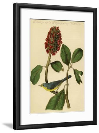 Bonaparte's Flycatching Warbler-John James Audubon-Framed Art Print