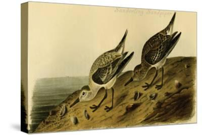 Sanderling Sandpiper-John James Audubon-Stretched Canvas Print