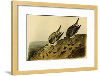 Sanderling Sandpiper-John James Audubon-Framed Art Print