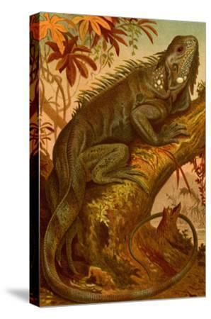Iguana-F^W^ Kuhnert-Stretched Canvas Print