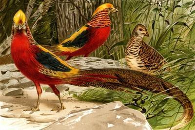 Pheasants-F^W^ Kuhnert-Stretched Canvas Print