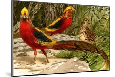 Pheasants-F^W^ Kuhnert-Mounted Art Print