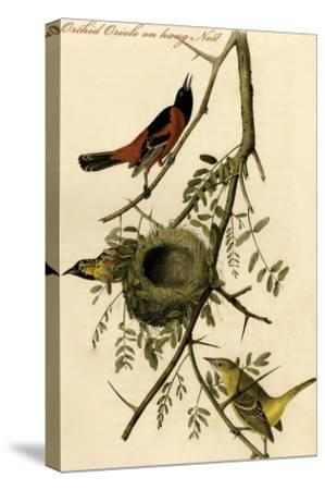 Orchid Oriole on Hang Nest-John James Audubon-Stretched Canvas Print