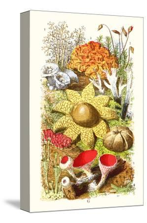 Reindeer Moss, Earth-Star, Scarlet Cup-Moss-James Sowerby-Stretched Canvas Print