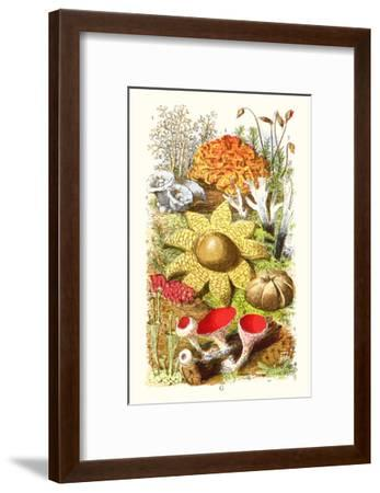Reindeer Moss, Earth-Star, Scarlet Cup-Moss-James Sowerby-Framed Art Print