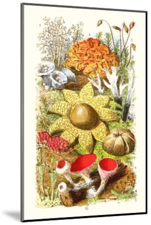 Reindeer Moss, Earth-Star, Scarlet Cup-Moss-James Sowerby-Mounted Art Print