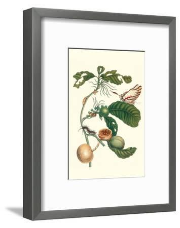Coffee Tree Leaf with a Glaucolaus Kite Swallowtail Butterfly-Maria Sibylla Merian-Framed Premium Giclee Print
