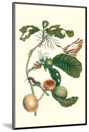 Coffee Tree Leaf with a Glaucolaus Kite Swallowtail Butterfly-Maria Sibylla Merian-Mounted Premium Giclee Print