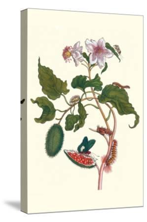Urucu Tree a Phidias Firetip Butterfly-Maria Sibylla Merian-Stretched Canvas Print