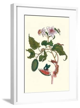 Urucu Tree a Phidias Firetip Butterfly-Maria Sibylla Merian-Framed Art Print