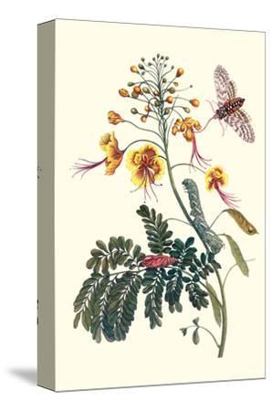Pride of Barbados with a Tobacco Hornworm-Maria Sibylla Merian-Stretched Canvas Print