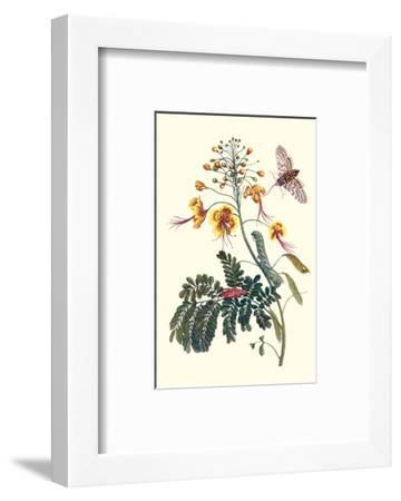 Pride of Barbados with a Tobacco Hornworm-Maria Sibylla Merian-Framed Premium Giclee Print