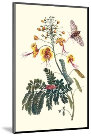 Pride of Barbados with a Tobacco Hornworm-Maria Sibylla Merian-Mounted Premium Giclee Print
