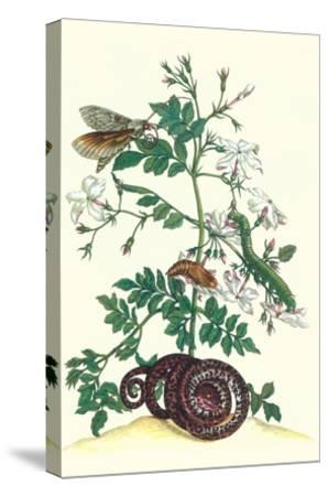 Royal Jasmine with an Amazon Tree Boa and an Ello Sphinx Moth-Maria Sibylla Merian-Stretched Canvas Print