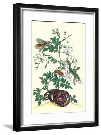 Royal Jasmine with an Amazon Tree Boa and an Ello Sphinx Moth-Maria Sibylla Merian-Framed Art Print