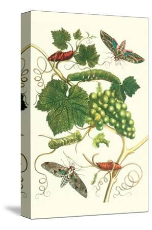 Grapevine with Vine Sphinx-Maria Sibylla Merian-Stretched Canvas Print