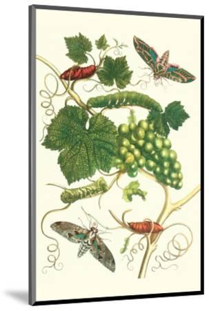Grapevine with Vine Sphinx-Maria Sibylla Merian-Mounted Premium Giclee Print