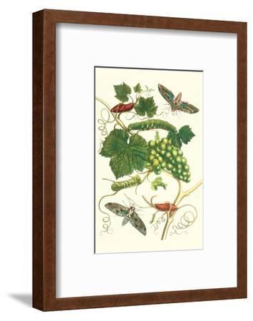 Grapevine with Vine Sphinx-Maria Sibylla Merian-Framed Premium Giclee Print
