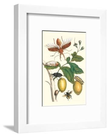 Genip Tree with Palm Weevil, a Long Horned Beetle and an Orchid Bee-Maria Sibylla Merian-Framed Premium Giclee Print