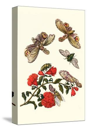 Sundown Cicada and a Peanut-Headed Lantern Fly-Maria Sibylla Merian-Stretched Canvas Print