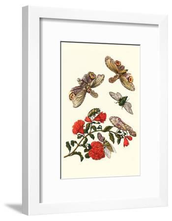 Sundown Cicada and a Peanut-Headed Lantern Fly-Maria Sibylla Merian-Framed Art Print