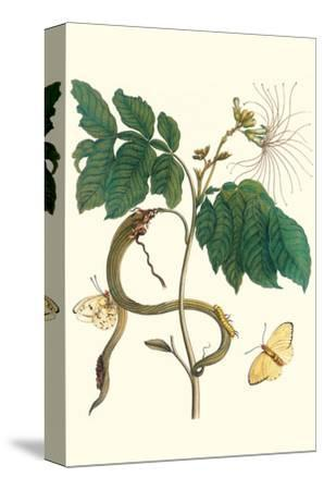 Ice Cream Bean with Apricot Sulphur Butterfly-Maria Sibylla Merian-Stretched Canvas Print