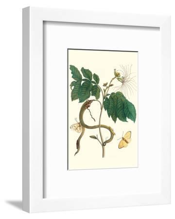Ice Cream Bean with Apricot Sulphur Butterfly-Maria Sibylla Merian-Framed Premium Giclee Print