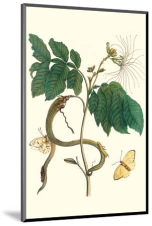 Ice Cream Bean with Apricot Sulphur Butterfly-Maria Sibylla Merian-Mounted Premium Giclee Print