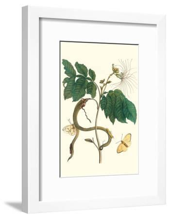 Ice Cream Bean with Apricot Sulphur Butterfly-Maria Sibylla Merian-Framed Art Print