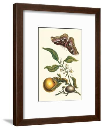 Seville Orange with a Golden Rothschild Butterfly-Maria Sibylla Merian-Framed Premium Giclee Print