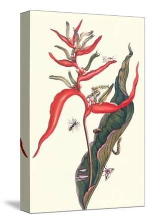 Heliconia and Potter Wasp-Maria Sibylla Merian-Stretched Canvas Print