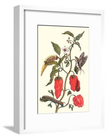 Cherry Pepper and Tobacco Hornworm with Five Spotted Hawkmoth-Maria Sibylla Merian-Framed Art Print