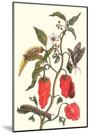 Cherry Pepper and Tobacco Hornworm with Five Spotted Hawkmoth-Maria Sibylla Merian-Mounted Art Print