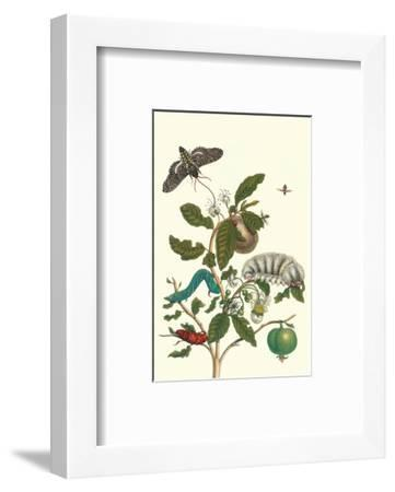 Guava and Tobacco Hornworm and a Podalia Moth-Maria Sibylla Merian-Framed Premium Giclee Print