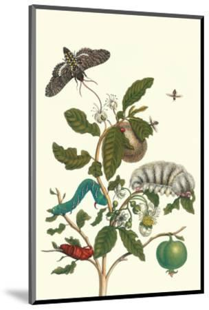 Guava and Tobacco Hornworm and a Podalia Moth-Maria Sibylla Merian-Mounted Premium Giclee Print