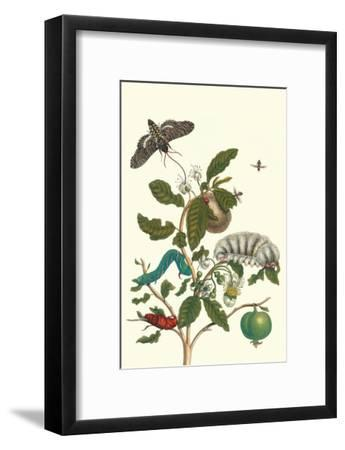 Guava and Tobacco Hornworm and a Podalia Moth-Maria Sibylla Merian-Framed Art Print