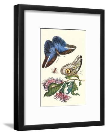 Cardinal's Guard Butterfly with Idomeneus Giant Owl Butterfly-Maria Sibylla Merian-Framed Premium Giclee Print