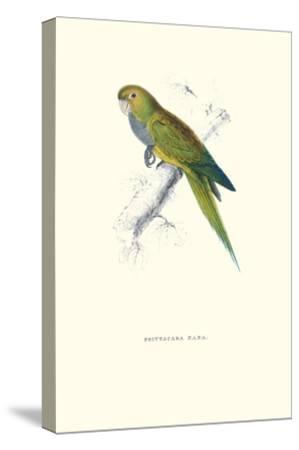 Dwarf Parakeet Macaw - Aratinga Nana-Edward Lear-Stretched Canvas Print