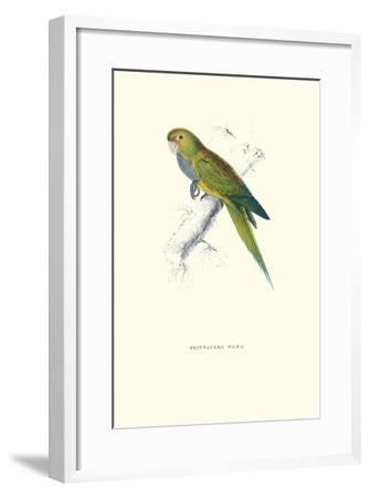 Dwarf Parakeet Macaw - Aratinga Nana-Edward Lear-Framed Art Print