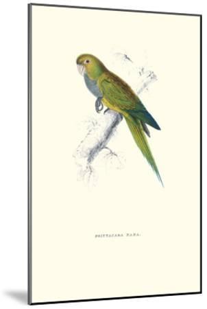Dwarf Parakeet Macaw - Aratinga Nana-Edward Lear-Mounted Art Print