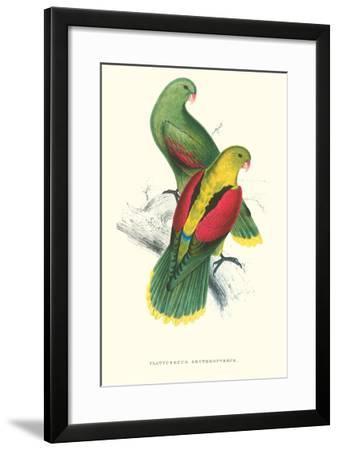 Crimson Winged Parakeet - Aprosmictus Erythropterus-Edward Lear-Framed Art Print