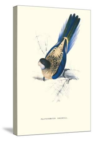 Brown's Parakeet - Platycercus Venustus-Edward Lear-Stretched Canvas Print